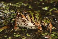 马达加斯加Marbeled跳跃者青蛙 免版税库存图片