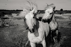 马追逐 免版税图库摄影