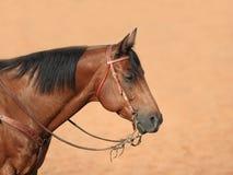 马配置文件季度 免版税库存图片