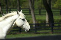 马配置文件白色 免版税库存照片