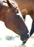 马配置文件 免版税图库摄影