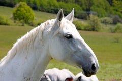 马配置文件 免版税库存图片