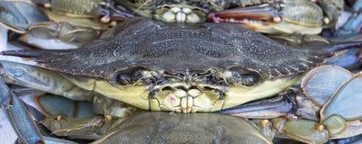 马里兰青蟹 免版税库存图片