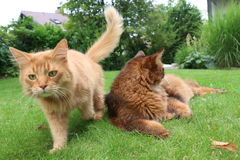 索马里的猫 免版税库存图片
