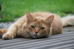 索马里的猫 库存图片