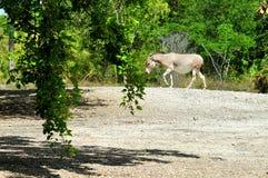 索马里野驴在走的动物园里 免版税库存图片