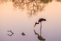 马鞍开帐单的鹳渔在与牺牲者的水中在额嘴 风景日落光 马蓬古布韦国家公园,著名旅行desti 库存图片