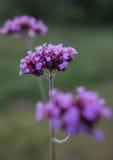 马鞭草属植物三朵花在绿色叶子的 图库摄影
