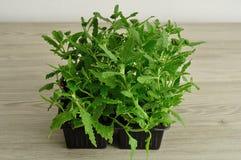 马鞭草属植物幼木盘子  图库摄影