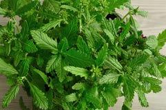 马鞭草属植物幼木盘子  库存图片