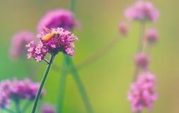 马鞭草属植物蜂 免版税库存图片