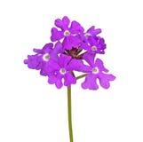 马鞭草属植物紫色花被隔绝反对白色 免版税库存图片