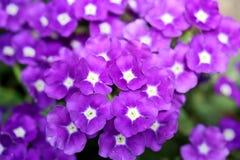 马鞭草属植物紫色 免版税库存照片