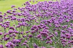 马鞭草属植物 免版税库存照片