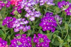 马鞭草属植物 免版税图库摄影