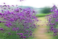 马鞭草属植物bonariensis,紫色花 免版税库存图片