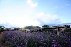 马鞭草属植物bonariensis,紫色 图库摄影