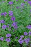 马鞭草属植物tenera 免版税库存图片