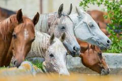马饮用水牧群  免版税库存照片
