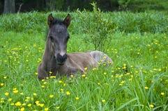 马驹在草甸 免版税库存照片