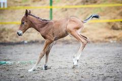 马驹(2天的)步行和使用在小牧场 免版税图库摄影