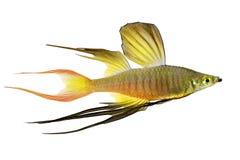 马鲅rainbowfish Iriatherina werneri featherfin rainbowfish热带水族馆鱼 免版税库存照片