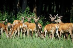 马鹿和hinds走在森林野生生物的大小组在自然生态环境 库存照片