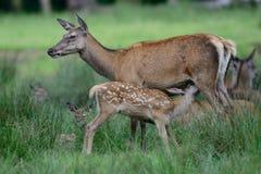 马鹿哺乳她的小牛 免版税库存照片