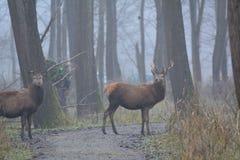 马鹿在与很多雾的一天在Oostvaardersplassen的12月在荷兰 图库摄影