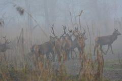 马鹿在与很多雾的一天在Oostvaardersplassen的12月在荷兰 库存图片