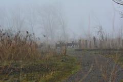 马鹿在与很多雾的一天在Oostvaardersplassen的12月在荷兰 免版税库存照片