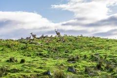 马鹿在高地野生生物徒步旅行队公园,苏格兰成群 图库摄影