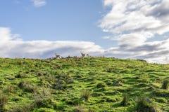 马鹿成群在沿徒步旅行队轨道的小山顶部在高地野生生物公园,苏格兰 免版税库存图片