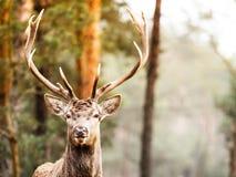 马鹿雄鹿在秋天秋天森林里 库存照片