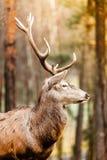 马鹿雄鹿在秋天秋天森林里 库存图片