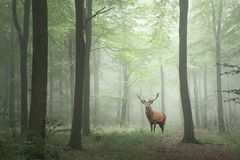 马鹿雄鹿在豪华的绿色童话成长概念有雾的前面 免版税库存图片