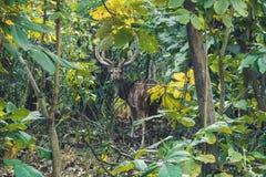 马鹿雄鹿的惊人的图象在五颜六色有雾的秋天 库存照片