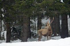马鹿雄鹿,吼叫庄严强有力的成人动物秋天森林,与雪森林的冬天场面外,捷克语 野生生物欧洲 库存照片