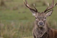 马鹿雄鹿,鹿elaphus,休息,走, postering在秋天车轮痕迹期间, cairngorms NP,苏格兰 库存图片