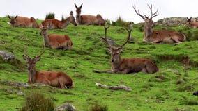 马鹿雄鹿,鹿elaphus scoticus,休息在一个幽谷内在9月, cairngorms国家公园 股票视频