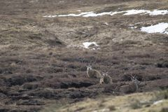 马鹿,鹿elaphus,雄鹿,搜寻,吃草在一个幽谷内在Cairngorm国家公园,苏格兰在冬天期间在2月 免版税库存照片