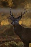 马鹿,鹿elaphus 图库摄影