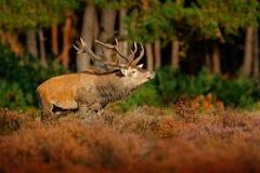 马鹿, rutting季节在NP Hoge Veluwe,荷兰 鹿雄鹿,吼叫在木头,大生命之外的庄严强有力的成人动物 库存图片