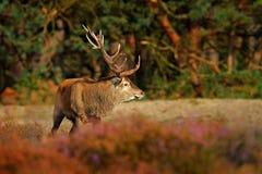 马鹿, rutting季节,平衡太阳 鹿雄鹿,在森林栖所吼叫在木头,大动物之外的庄严强有力的成人动物 库存照片