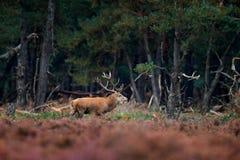 马鹿, rutting季节,捷克 鹿雄鹿,吼叫在木头,在森林habi的大动物之外的庄严强有力的成人动物 免版税图库摄影