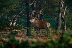 马鹿, rutting季节,斯洛伐克 鹿雄鹿,在森林栖所吼叫在木头,大动物之外的庄严强有力的成人动物, 免版税库存照片