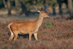 马鹿(鹿elaphus)。 库存图片