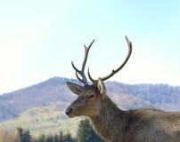 马鹿(鹿elaphus)画象 库存照片
