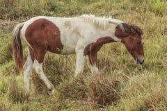马,与搜寻动物的肥沃kawatuna谷 免版税库存照片