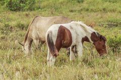 马,与搜寻动物的肥沃kawatuna谷 库存图片